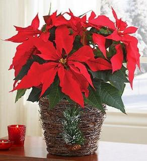Large Red Christmas Poinsettia Plant