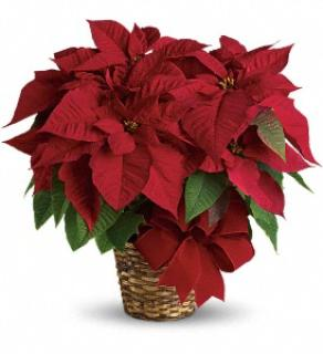 Holiday Poinsettia & Chocolate --SALE--
